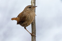 Winter Wren. Perched of a dead branch Royalty Free Stock Photography