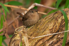 Winter Wren Stock Photos