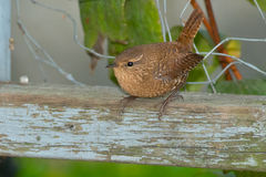 Winter Wren Stock Photo