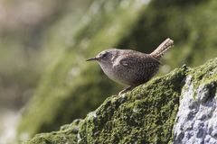 Winter wren sitting on a rock on the seaside slope of Copper Isl Stock Photos