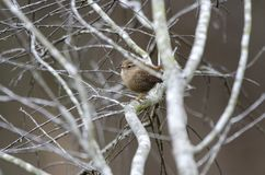 Winter Wren songbird, Georgia, USA. Brown Winter Wren bird, Troglodytes hiemalis, in bare winter tree sticks in Monroe, Georgia, USA royalty free stock photo
