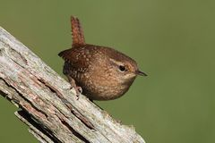 Winter Wren (Troglodytes) On A Branch Royalty Free Stock Photo