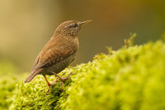Winter wren (Troglodytes hiemalis) Royalty Free Stock Images