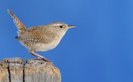 Winter wren. Stock Photo