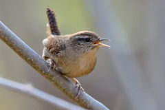 Winter wren ( Troglodytes troglodytes ) Royalty Free Stock Photo