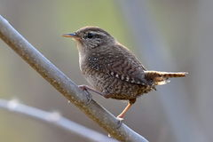 Winter wren ( Troglodytes troglodytes ) Royalty Free Stock Images