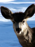Winter Yearling. Friendly baby mule deer on a sunny winter day royalty free stock photography