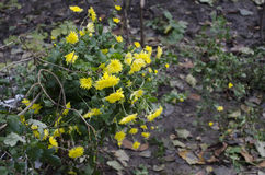 Winter yellow flowers royalty free stock images