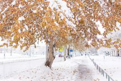Winter yellow tree covered with snow on winter day royalty free stock image