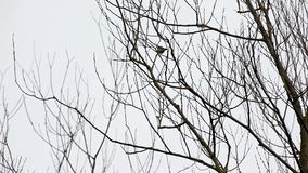 Treetops and an bird. In the winter you find treetops in the forest whit an bird stock video footage