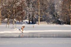 Winter-zwemmer die voorbereidingen treffen te zwemmen Royalty-vrije Stock Fotografie