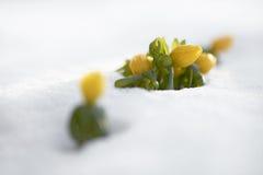 Winterakonit (Eranthis hyemalis) Lizenzfreie Stockbilder