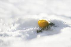 Winterakonit (Eranthis hyemalis) Lizenzfreies Stockfoto