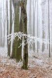 Winteransicht des Buchenbaums umfasst mit Frost Stockfotografie
