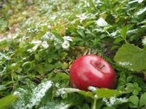 Winterapfel im Gras Stockfotos