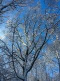 WinterBäume des Waldes bedeckt mit Schnee und blauem sonnigem Himmel Stockfotos
