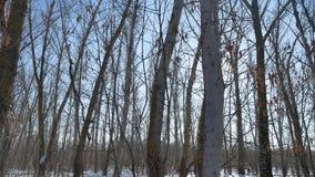 WinterBäume des Waldes in der Natur der Schneegrelle glanz der Sonne, Sonnenlichtlandschaft stock video footage