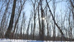 WinterBäume des Waldes im Schneegrellen glanz der Sonne, Natursonnenlichtlandschaft stock footage