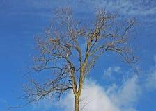 Winterbaum gegen einen blauen Himmel Lizenzfreie Stockbilder