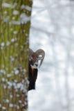 Winterbaum mit Tier Mouflon, Ovis orientalis, Winterszene mit Schnee im Wald, gehörntes Tier im Naturlebensraum, Hafen Lizenzfreies Stockfoto