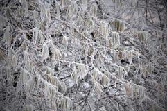 Winterbaumast mit Blättern im Frost Lizenzfreies Stockfoto