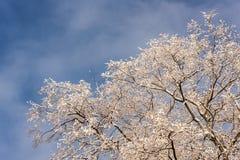 Winterbaumaste im Vordergrund Stockfoto