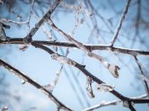 Winterbaumaste mit reinem Eis auf ihnen. Stockbild