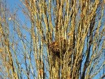 Winterbaumaste mit Vogel ` s nisten in Vancouver, Britisch-Columbia Stockbild
