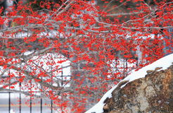 Winterbeere im Schnee West Point Lizenzfreie Stockfotografie