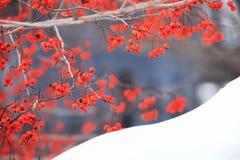Winterbeere im Schnee West Point Lizenzfreies Stockfoto