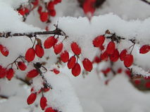 Winterbeeren Stockfotos