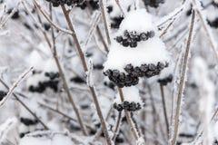Winterbeeren einer schwarzen Eberesche mit dem Schnee Lizenzfreies Stockfoto