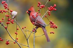 Winterberry Cardinal. A male Northern Cardinal (Cardinalis cardinalis) perching on winterberry stock photography