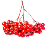 Winterberry Christmas branch with red holly berries hanging isol Stock Image