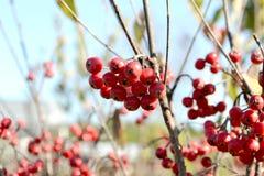 Winterberry do verticillata do Ilex Imagem de Stock