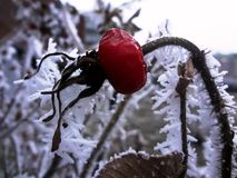 dogrose in frost - Winterberry Stock Images