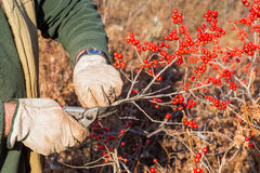 Winterberry Royalty Free Stock Images