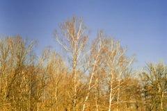 Winterbirke Lizenzfreies Stockfoto