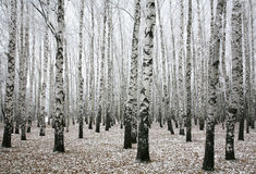 Winterbirken im Herbst Lizenzfreie Stockbilder