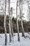 Winterbirken mit Nistkasten auf dem Stamm Stockfotos