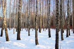 Winterbirkenwaldung Stockfotografie
