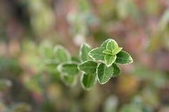 Wintercreeper photo stock