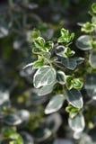 Wintercreeper Emerald Gaiety. Latin name - Euonymus fortunei Emerald Gaiety stock photo