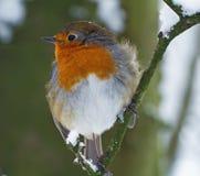 Wintered Robin lizenzfreie stockfotos