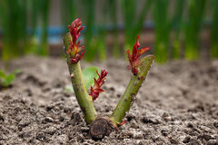 Wintered rose bush with young sprouts. Stock Photos
