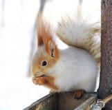 Wintereichhörnchen Stockfotos