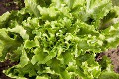 Winterendiviekopfsalat im Garten Lizenzfreies Stockfoto