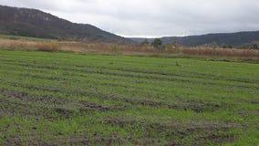 Winterernte gepflanzt auf dem Gebiet stock video footage