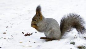 Winterfütterung eines Eichhörnchens Stockbild
