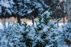 Winterfrost auf Buxusniederlassung lizenzfreie stockfotos
